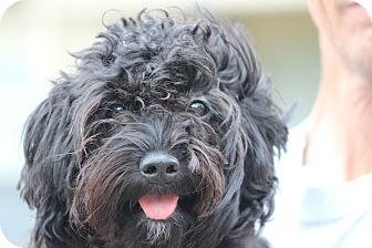 Poodle (Miniature) Mix Dog for adoption in Coventry, Rhode Island - Dixie Bell