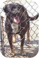 Labrador Retriever/Rottweiler Mix Dog for adoption in Brookville, Ohio - Chance- URGENT DOG!