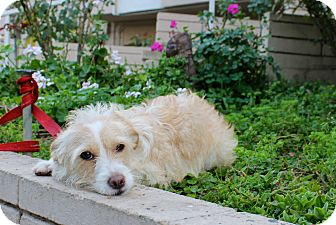Jack Russell Terrier/Schnauzer (Miniature) Mix Dog for adoption in Los Angeles, California - Francine