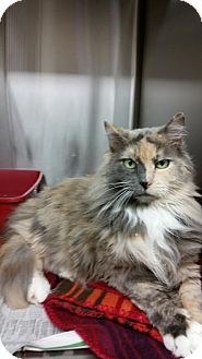 Calico Cat for adoption in Webster, Massachusetts - Lady