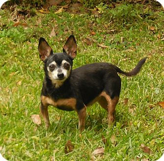 Chihuahua Dog for adoption in Ormond Beach, Florida - Dolly's Delta Dawn