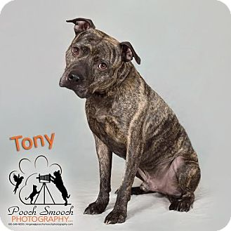 Staffordshire Bull Terrier Mix Dog for adoption in Broadway, New Jersey - Tony