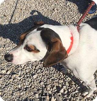 Jack Russell Terrier Mix Dog for adoption in Loogootee, Indiana - Diesel