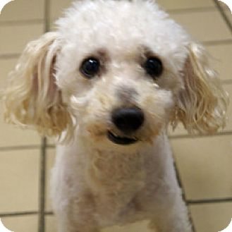 Miniature Poodle Mix Dog for adoption in Eatontown, New Jersey - James