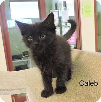 Domestic Longhair Kitten for adoption in Slidell, Louisiana - Caleb