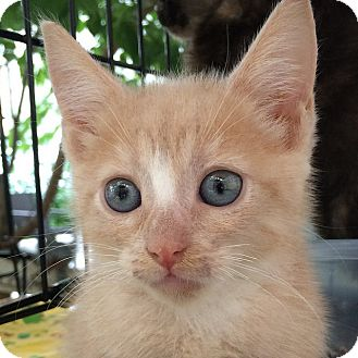 Domestic Shorthair Kitten for adoption in Brooklyn, New York - Sunny