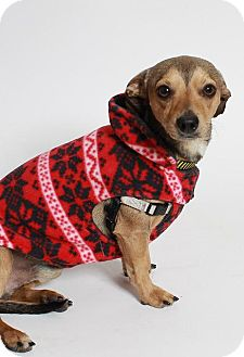 Dachshund/Chihuahua Mix Dog for adoption in Truckee, California - Frankie