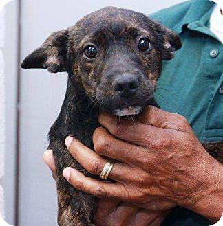 Terrier (Unknown Type, Small) Mix Puppy for adoption in McDonough, Georgia - GORDON