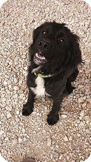 Retriever (Unknown Type)/English Springer Spaniel Mix Dog for adoption in Chewelah, Washington - Miss Molly
