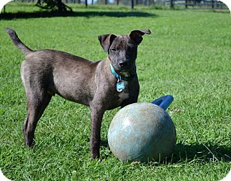 Terrier (Unknown Type, Medium)/Labrador Retriever Mix Puppy for adoption in Chattanooga, Tennessee - Charlie