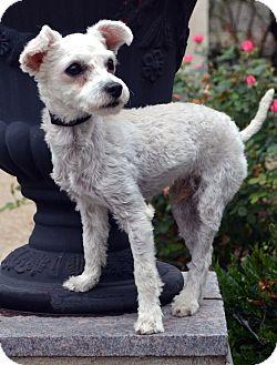 Poodle (Miniature) Mix Dog for adoption in Bridgeton, Missouri - Bosco-Adoption pending
