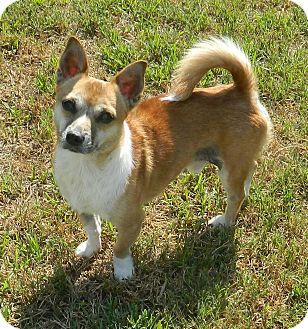 Corgi Mix Dog for adoption in Umatilla, Florida - Abner
