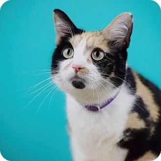 Domestic Shorthair Cat for adoption in Columbia, Illinois - Aubrey