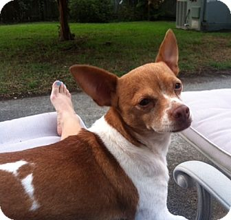 Chihuahua Mix Dog for adoption in Hayes, Virginia - Little Max