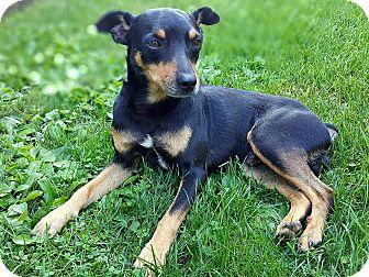 Rat Terrier/Miniature Pinscher Mix Dog for adoption in Lisbon, Iowa - Maverick