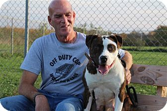 American Pit Bull Terrier Mix Dog for adoption in Elyria, Ohio - Mom-Heidi