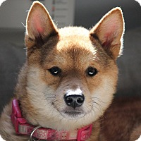 Adopt A Pet :: Hokusai - Manassas, VA