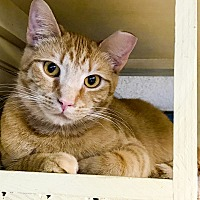 Adopt A Pet :: Simba - Virginia Beach, VA