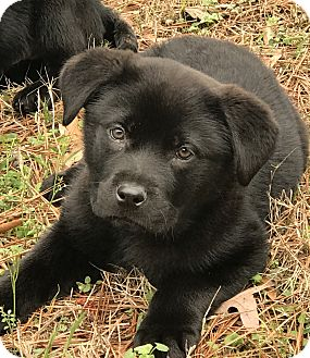 Chow Chow/Labrador Retriever Mix Puppy for adoption in Haggerstown, Maryland - Angus