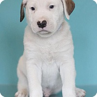Adopt A Pet :: Armor - Waldorf, MD