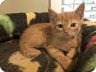 Domestic Shorthair Kitten for adoption in Marietta, Georgia - Threepio