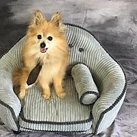 Adopt A Pet :: Mr. Bear - Dallas, TX