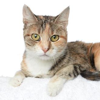 Domestic Shorthair/Domestic Shorthair Mix Cat for adoption in Los Angeles, California - Yellow