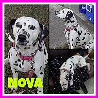 Adopt A Pet :: Nova3 - Fort Collins, CO
