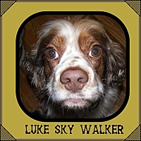 Adopt A Pet :: Luke Skywalker - Santa Barbara, CA