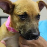 Adopt A Pet :: Chica - Cleveland, AL