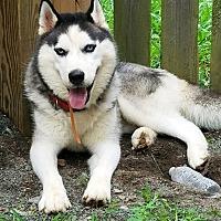 Adopt A Pet :: Houdini - Boyertown, PA