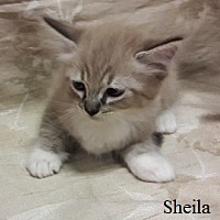 Adopt A Pet :: Sheila - Fullerton, CA