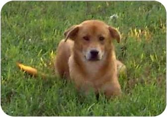 Golden Retriever/Labrador Retriever Mix Puppy for adoption in Stafford, Virginia - Twix