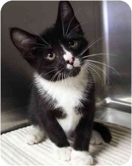 Domestic Shorthair Kitten for adoption in Bloomingdale, New Jersey - Birch