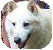 Alaskan Malamute Dog for adoption in Hamilton, Ontario - Nanook