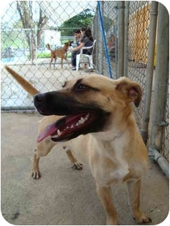 Terrier (Unknown Type, Small) Mix Dog for adoption in Guaynabo, Puerto Rico - Brownie