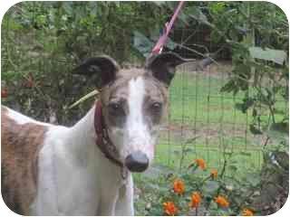 Greyhound Dog for adoption in Gerrardstown, West Virginia - DAISY