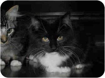 Domestic Mediumhair Kitten for adoption in San Clemente, California - MINNOW