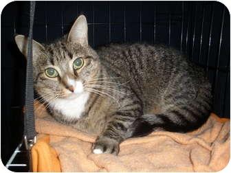 Domestic Shorthair Cat for adoption in Worcester, Massachusetts - Nala