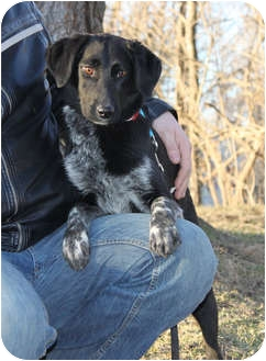 Australian Shepherd/Labrador Retriever Mix Dog for adoption in Elgin, Illinois - FLYT