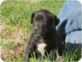 Boxer/Golden Retriever Mix Puppy for adoption in Westbrook, Connecticut - Sundance