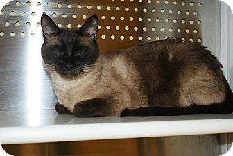Siamese Cat for adoption in Yuba City, California - 6/15 Sly