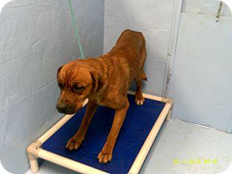Boxer/Mastiff Mix Dog for adoption in Dundas, Virginia - Buster - Facing Death