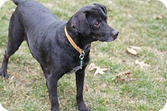 Labrador Retriever Mix Dog for adoption in Lewisville, Indiana - Snookie