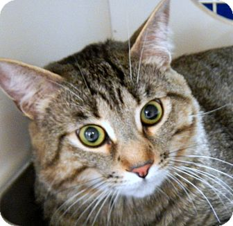 Domestic Shorthair Cat for adoption in Troy, Michigan - Jerry