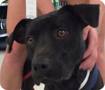 Labrador Retriever/American Staffordshire Terrier Mix Dog for adoption in Wilmington, North Carolina - Frankie