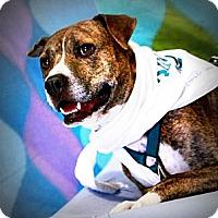 Adopt A Pet :: Brutus - McKinney, TX