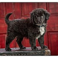 Adopt A Pet :: Blitzen - Owensboro, KY
