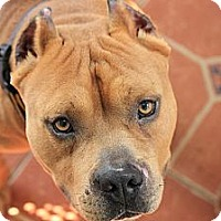 Adopt A Pet :: Sarge - Reisterstown, MD