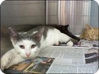 Domestic Shorthair Cat for adoption in East Brunswick, New Jersey - Jemma